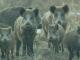 Peste Porcina Africana